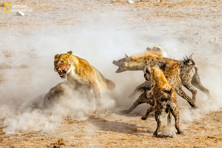 """Photo and Caption by NingYu Pao/2016 National Geographic Nature Photographer of the Year, I Am Angry. """"We arrived at one of the watering holes in Etosha National Park in the late evening. Four Lions were devouring a large kudu that they killed. A pack of hyenas appeared from the bush nearby attracted by the smell of blood and food for them. What ensued was a fight for the dead kudu between 4 female lions and 16 hyenas. Needless to say, in the end the hyenas won and got the prized kudu."""""""