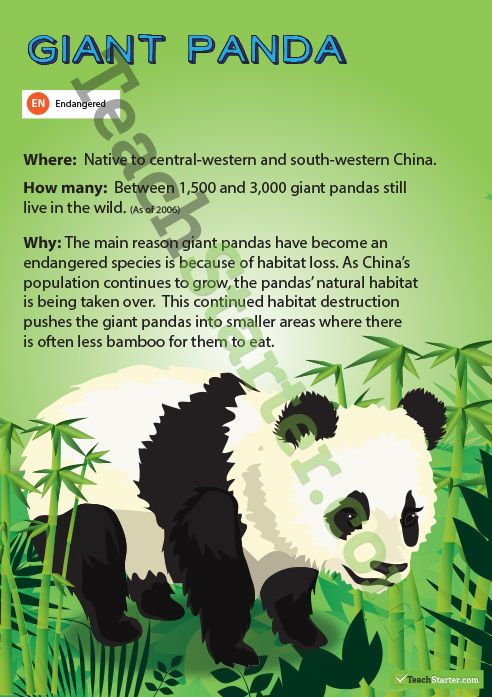 Giant Panda Endangered Animal Poster Teaching Resources