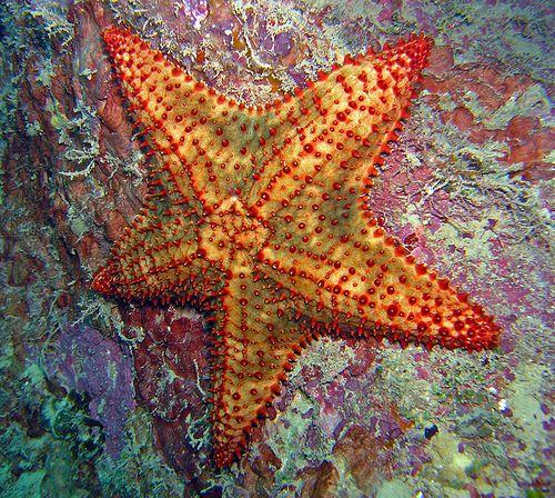Sea star (Roatan, Honduras)