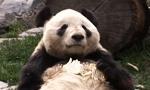 I am OBSESSED! Live Giant Panda Cam!  http://explore.org/#!/live-cams/player/china-panda-cam-1