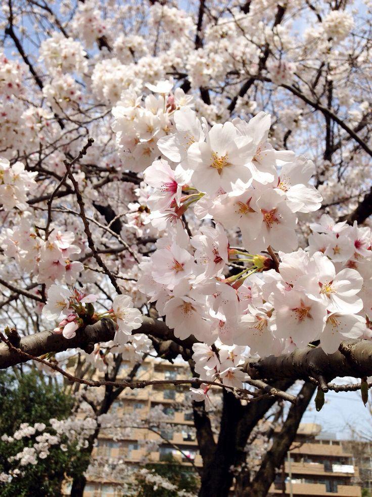 自宅近くの公園で、お花見。