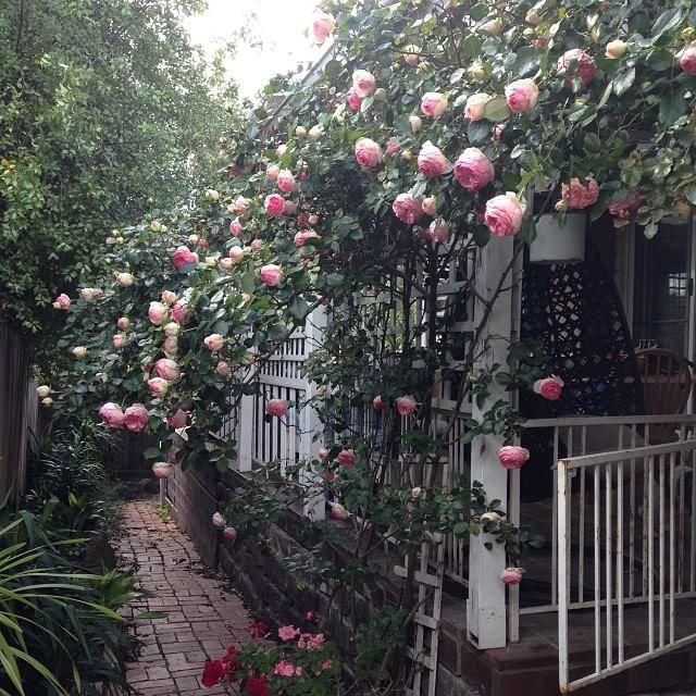 Natasha Burns Pierre de Ronsard Climbing Roses in Australia Must have a climbing pink rose!