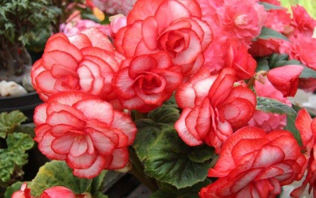 Tajemství bohatého kvetení begonií
