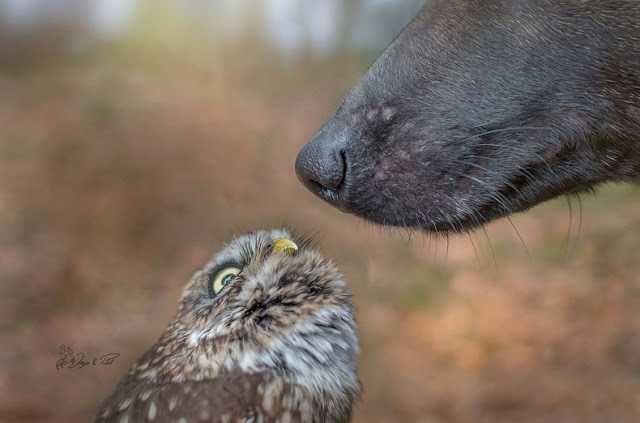 Kennen jullie het werk van Tanja Brand? Zo niet, en je houdt van dieren, dan zullen we je eens kennis laten maken met de prachtige fotografie van Tanja. Ze heeft haar carrière gefocust op prachtige dieren en natuur te fotograferen. Haar laatste werk was een ongebruikelijk koppel: een Belgische herder en een uil, Ingo en Poldi genaamd.