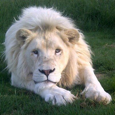 Limpopo , Vaalwater ...  White lion , Ceasar
