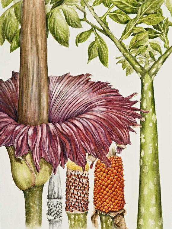 Titan Arum Botanical Print, from original botanical illustration, Amorphophallus titanum, by Australian artist Julie McEnerny. A4 size.