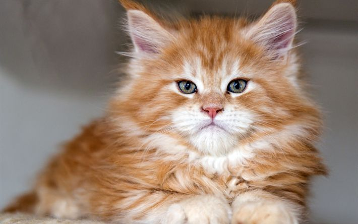 Scarica sfondi zenzero soffice gattino, simpatici animali, piccolo gatto, animali domestici, gatto di razza