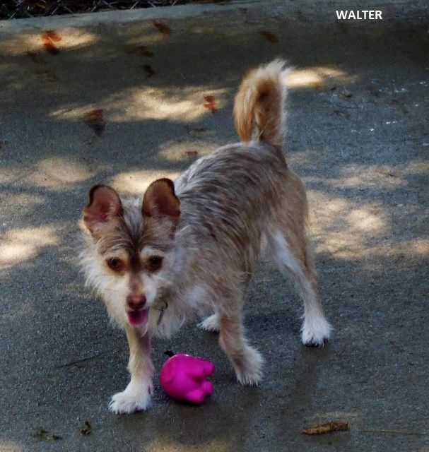Walter Is An Adoptable Yorkshire Terrier Yorkie Searching For A