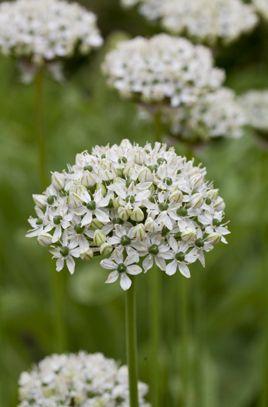 Bulbs: Allium nigrum - Black Ornamental Onion