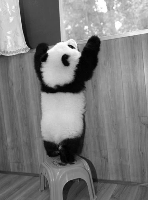 A tiny panda attempting to look out of the window but finds itself a few inches too short.