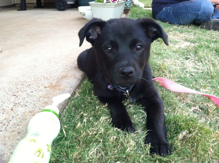 Black lab / blue heeler mix | Blue Heelers!!/German Shorthair ...