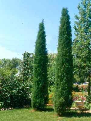 Juniperus Scopulorum Skyrocket Juniper Tree