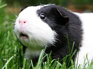 Image result for black guinea pig