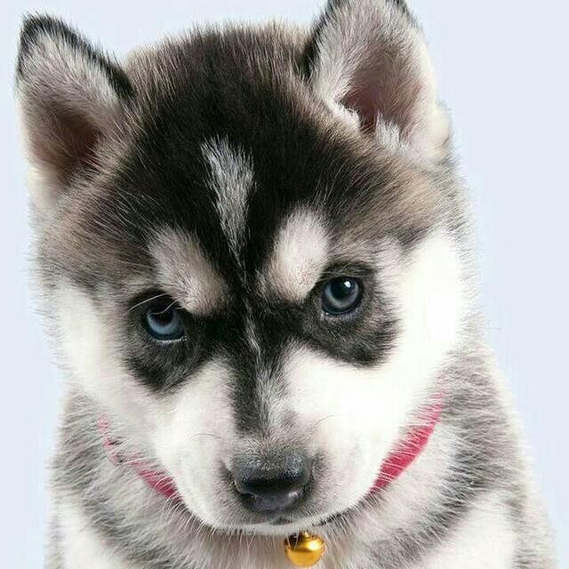 See More Beautiful Siberian Husky Dog Photos Where Is My