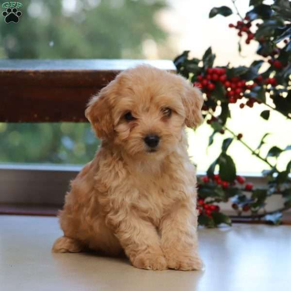 Havapoo Puppies For Sale Havapoo Dog Breed Profile Greenfield Puppies In 2020 Havapoo Puppies Greenfield Puppies Small Cute Puppies