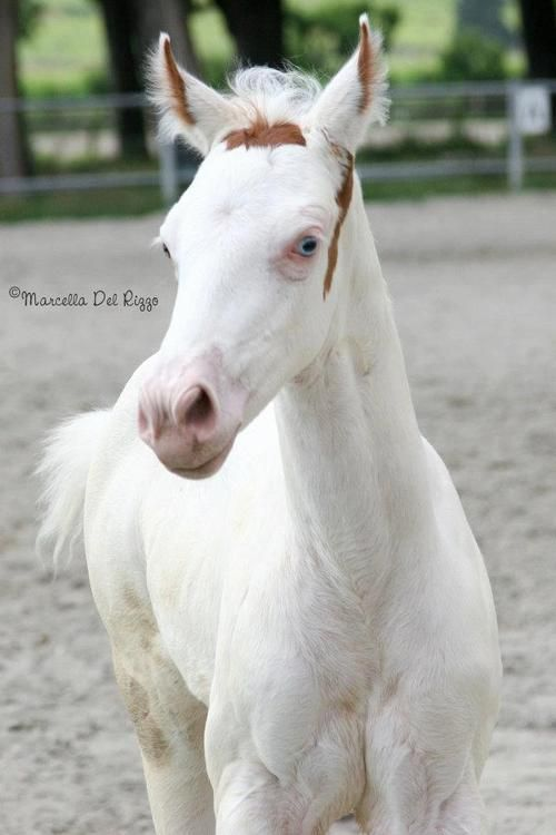 This foal is a Maximum White Sabino because the only coloring he has is on his head. But he is NOT a Medicine Hat, because his ears are mostly white with a little bit of coloring. It is considered rare for horses to have white ears.