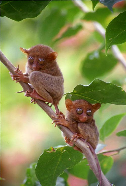 "Tarsiers in Bohol, Philippines - Endangered species. This photo shows the insensitivity of the ""eco"" resort who encourage tourists to disturb these highly nervous primates who sleep during the day and forage at night. Lack of sleep causes a disturbance in their normal patterns of behavior eventually leading to death."