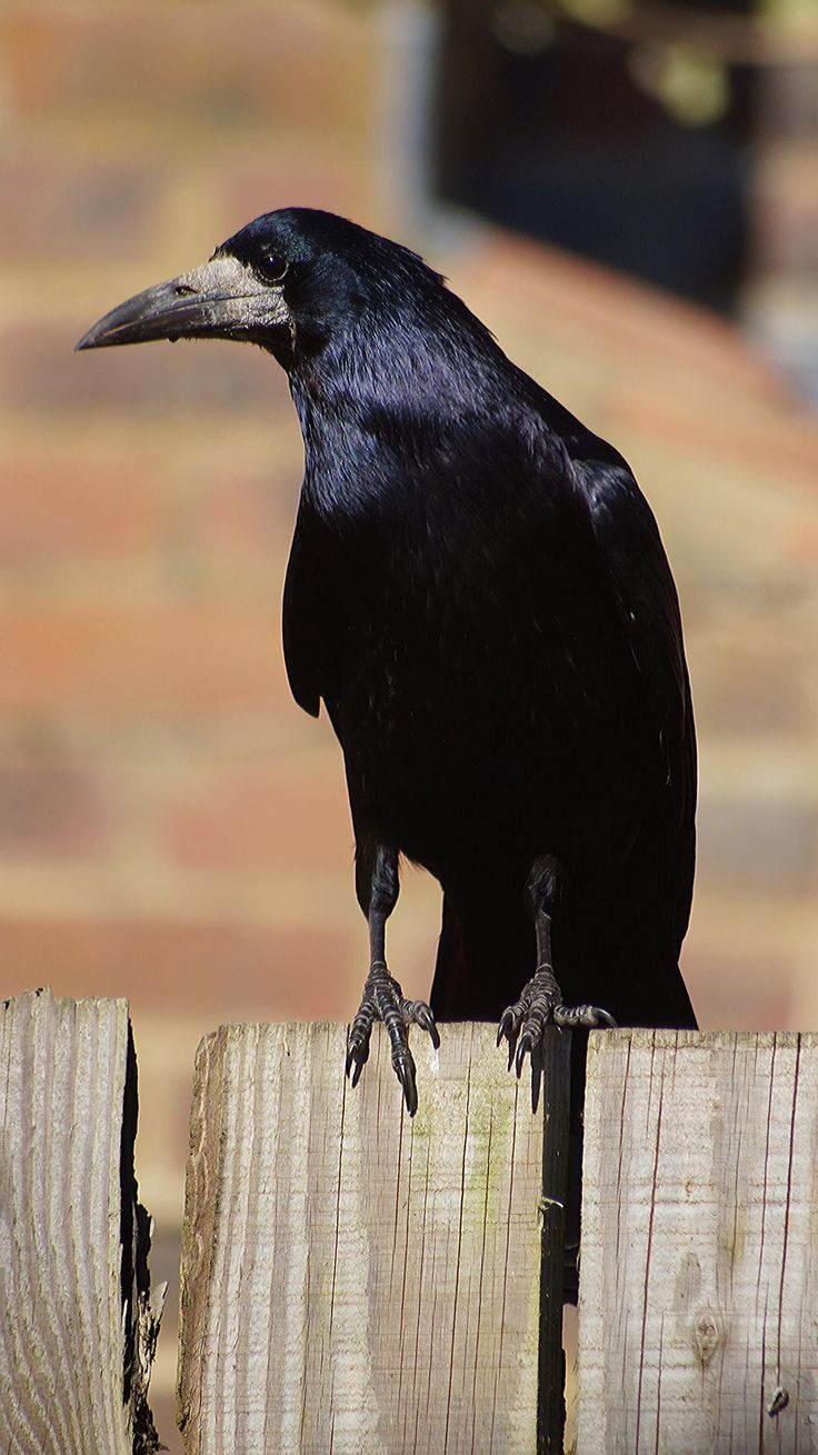 Rook by Matthew Le Riche..look at those shiny feathers!