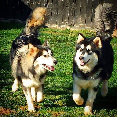 These dogs are the result of a German shepherd breeding with an Alaskan Malamute