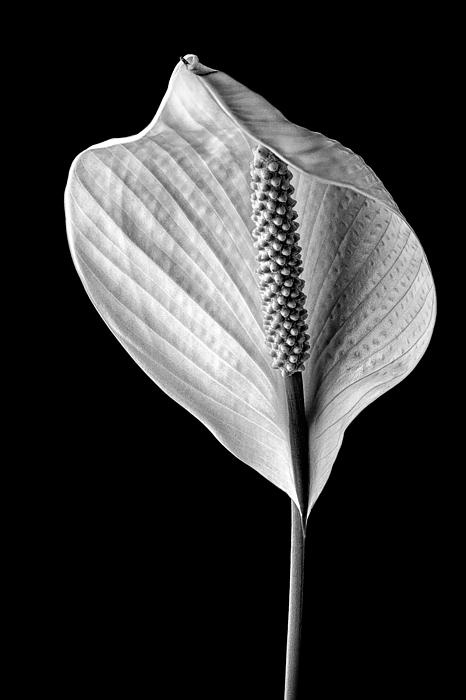 Peace Lily IV by Jeff Burton - A Peace Lily in full bloom after completely opening itself to the world. The soft diffused sunlight from an open window creates delicate shadows that define the blooms wonderful texture. The black background emphasizes the bloom making it the focal point of the image.