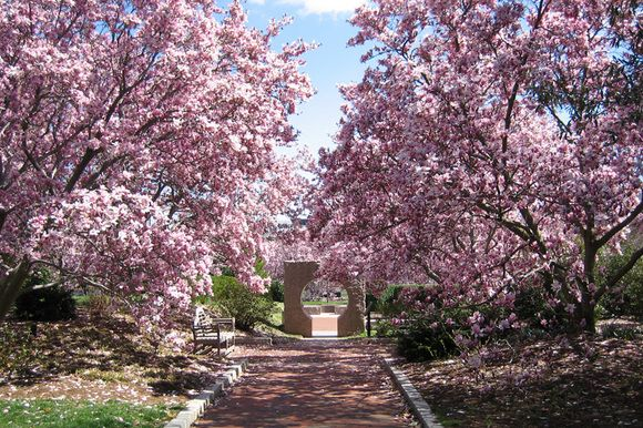 Magnolias at Annapolis Royal Historic Gardens