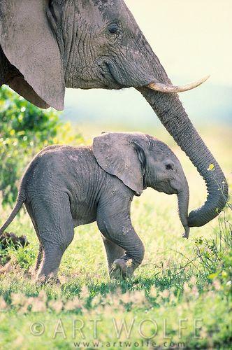 Una madre elefante protegerá a su cría de depredadores y le proveerá sombra. Especialistas han observado que cuando un elefante está a punto de nacer, las hembras de la manada se reúnen a hacer llamados. Cómo si no fuera suficiente, las elefantas tienen un periodo de gestación de 22 meses, el tiempo más largo del reino mamífero.