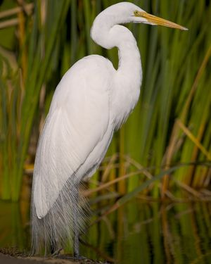 Great Egret - regular visitor to our little lake; love his long neck and graceful flight! How can he perch on the top needles of a pine tree?!