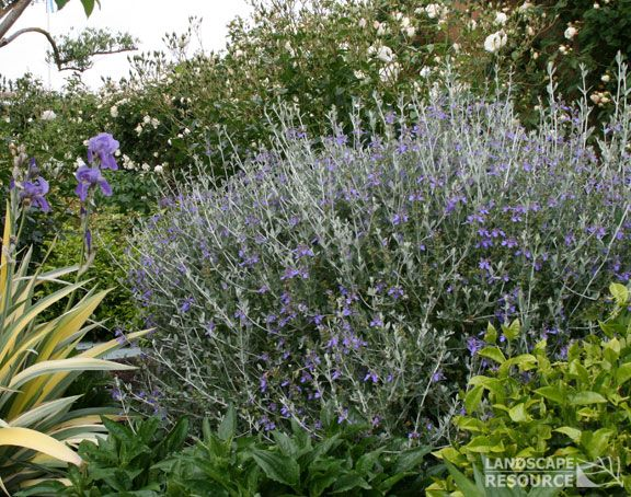 Azure bush germander blooms in the winter pretty foilage for Easy care garden shrubs