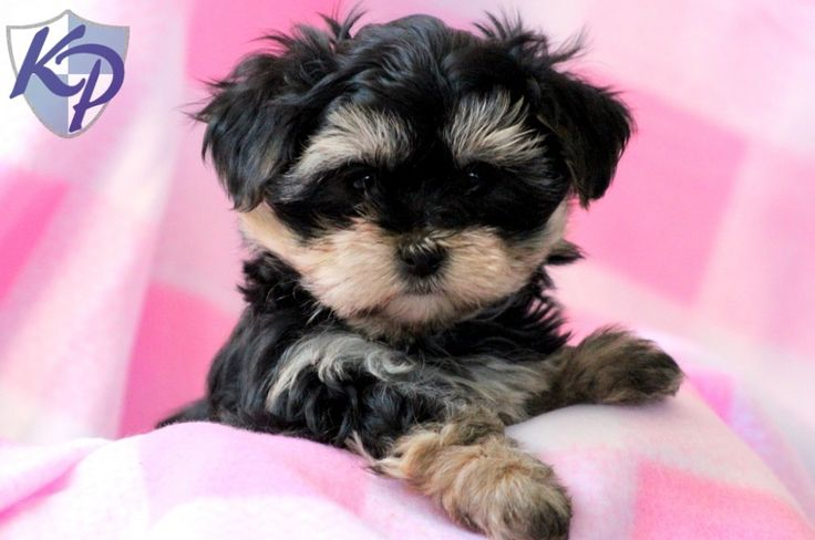 Dolly Morkie Puppies for Sale in PA Keystone Puppies