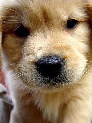 Golden puppie