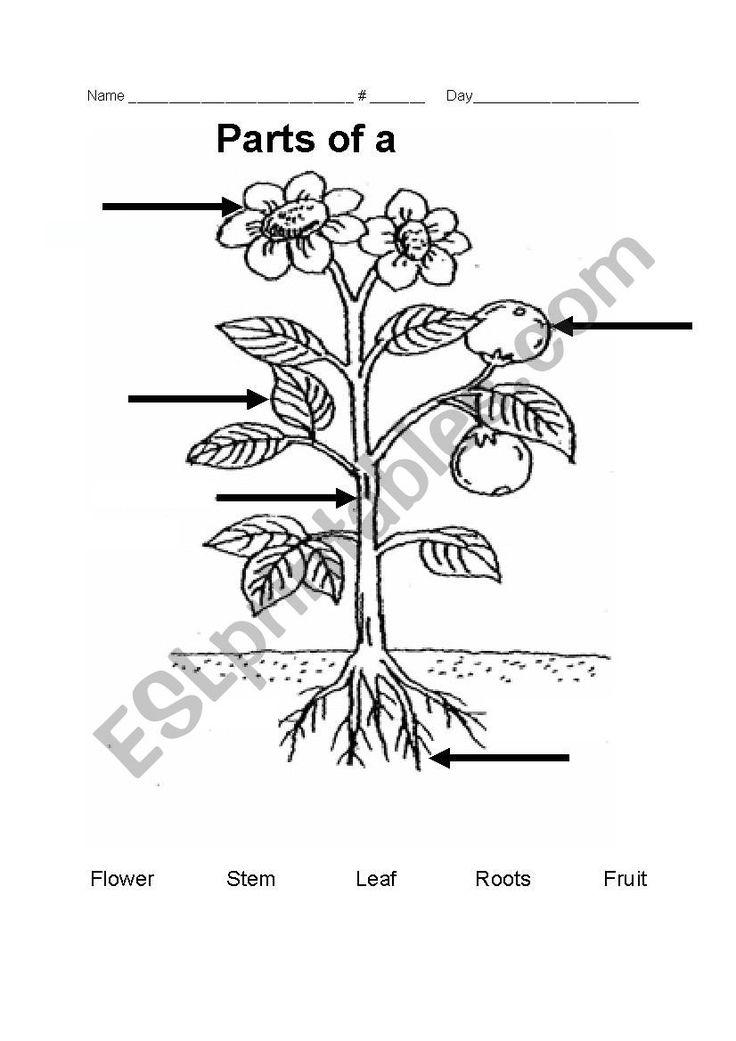 Parts of a plant   ESL worksheet by teacher rainbow ...