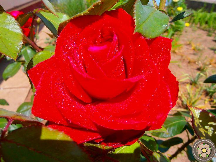 A vidéki élet elképzelhetetlen virágoskert nélkül, és oda pedig rózsabokor kívánkozik! :)