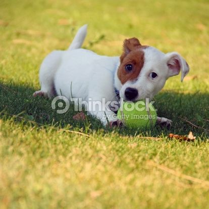 Jack Russel Stock Photo 188117858