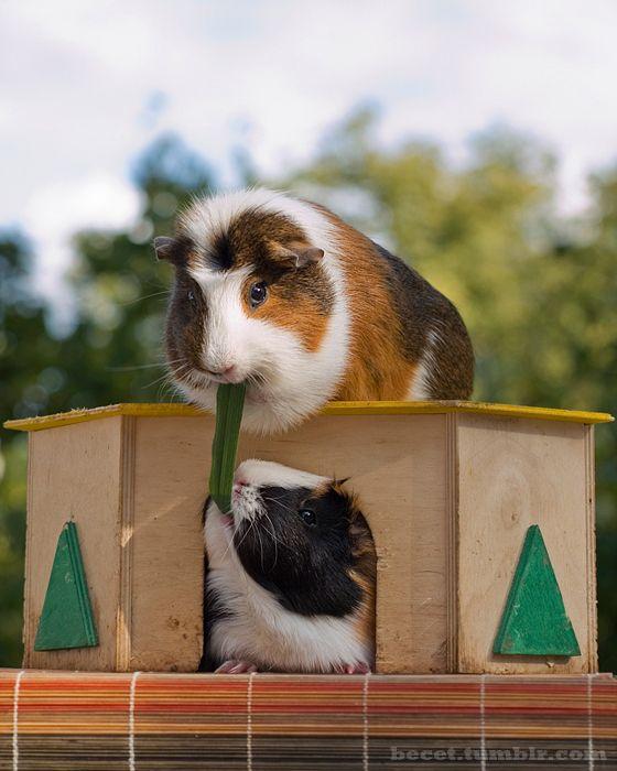 † ♥ ✞ ♥ † Guinea Pigs † ♥ ✞ ♥ †