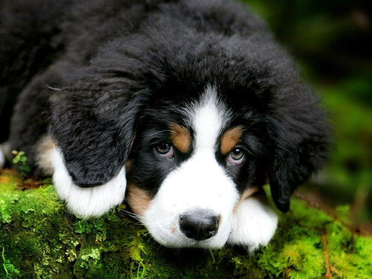 Cute berniese mountain dog puppy