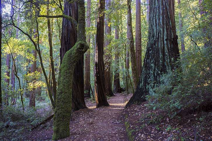 The Sequoia Trail, Big Basin Redwoods State Park