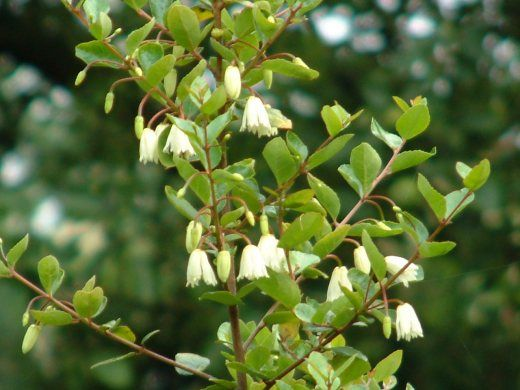 Myrceugenia planipes Patagua florecida http://www.planthogar.net/files/encyclo_pics/pic000493.jpg