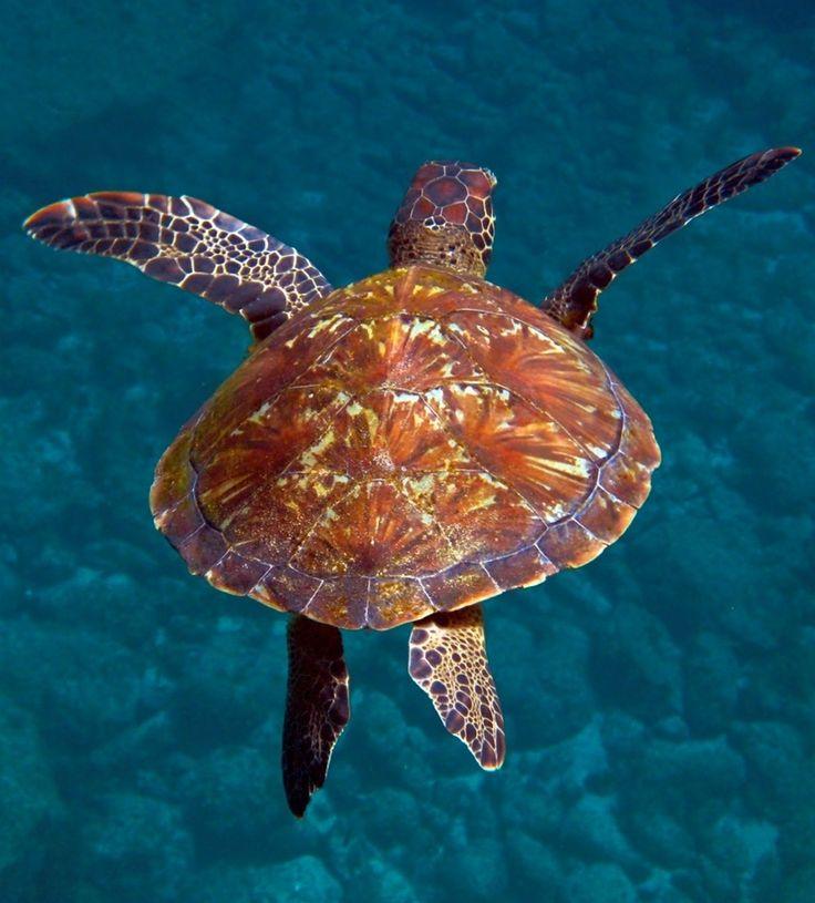 tartaruga de Fernando de Noronha, arquipélago de Pernambuco. foto por Roby Villa.