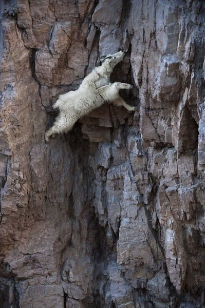 A Mountain Goat Descends a Sheer Rock Wall to Lick Exposed Salt | (10 Beautiful Photos)