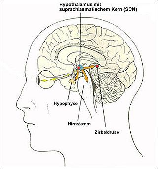 unterschied epiphyse hypophyse - Google-Suche   Pineal ...