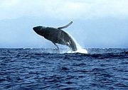 In October the whales frolic and play as far as you can see.