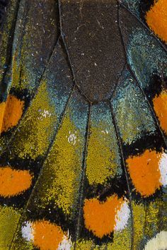 butterfly wing patterns - Google leit