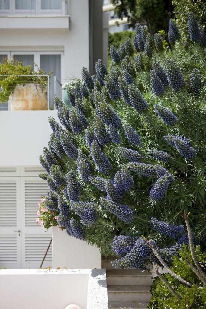 Echium.Garden by #peterfudge