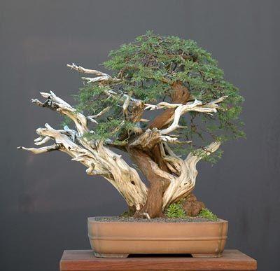 Artist: Walter Pall - Pfitzer's juniper (Juniperus chinensis 'Pfitzeriana') - 65 cm high - Japanese pot