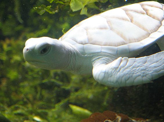 Wonders of Nature – I am grateful for the spiritual experience I had with a sea turtle, although it was not albino, as this one is.