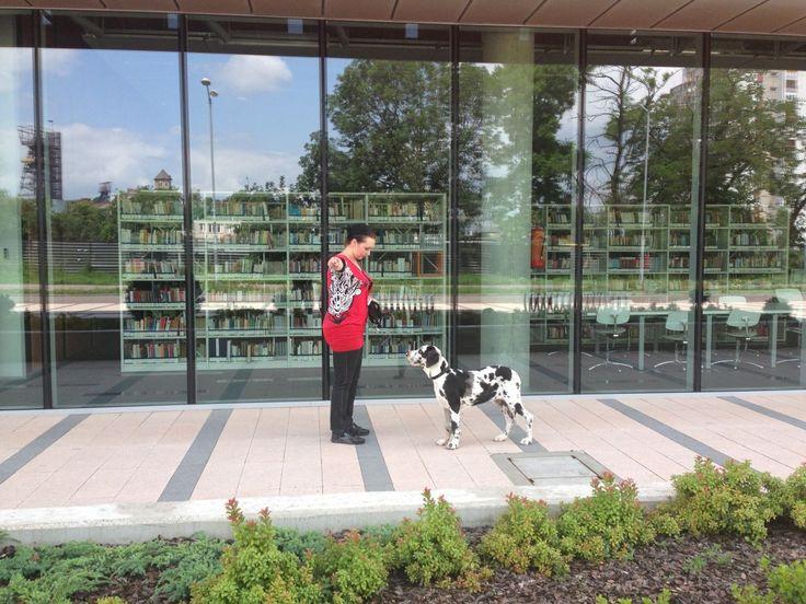 Cara (Dog niemiecki) rozpoczęła swoją drogę na podium. Pierwsze zajęcia przygotowujące do wystaw.