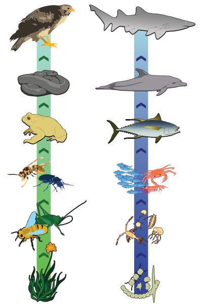 Here's an idea for creating a food chain on a ribbon. I like that the arrows show flow of energy.