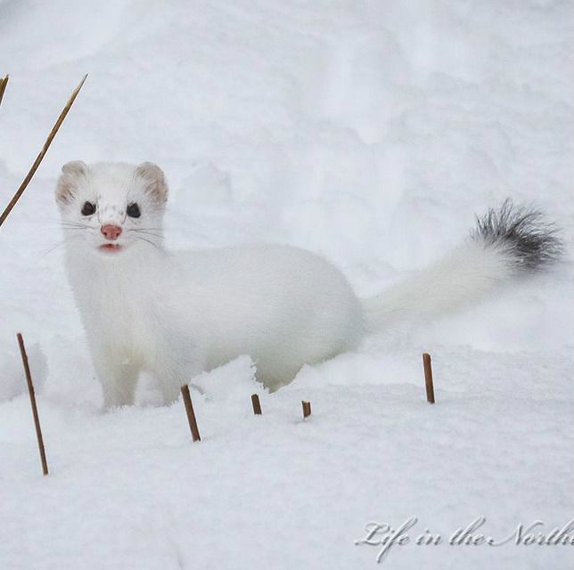 Ermines are a member of the weasel family, and they are another animal that changes color in the winter to all white, except for a black tip on their tail