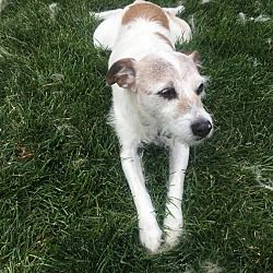 Portage, Michigan - Jack Russell Terrier. Meet Cooper, a for adoption. https://www.adoptapet.com/pet/20849444-portage-michigan-jack-russell-terrier-mix