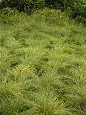 Prairie dropseed (great carpet + movement + erosion control)